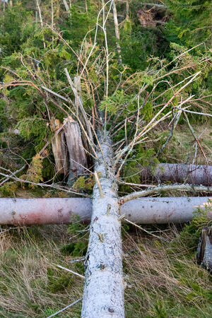 deforested: Fallen spruce tree on a clearcutting area Stock Photo
