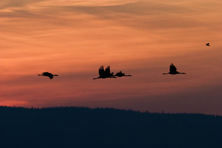 Cranes flying in beautiful dawn photo