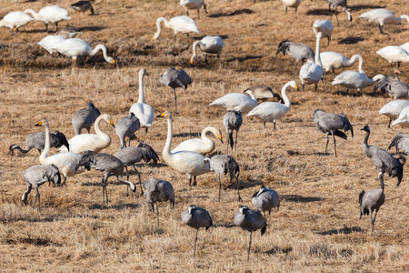 Cranes and Swans grazing on the field photo