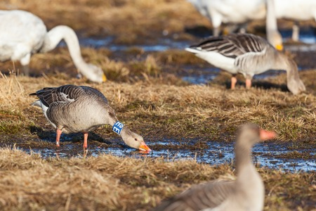 banding: Greylag Goose with bird ringing around the neck