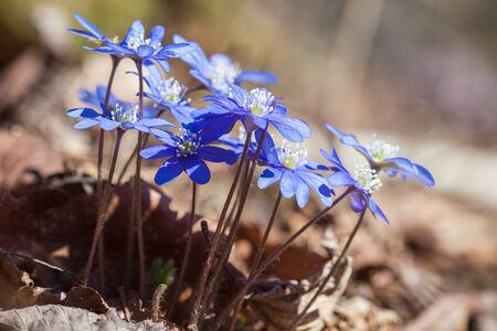 Flowering hepatica in early spring photo