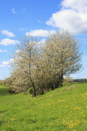 Flowering cherry trees in spring photo
