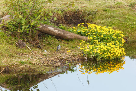 Wagtail on the ground at Kingcup flowers photo