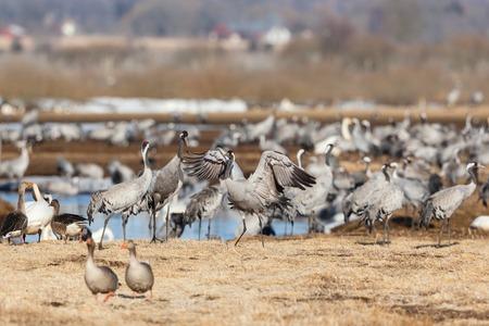 Common Crane on a field photo