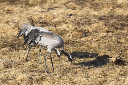 Cranes grazing on the field photo