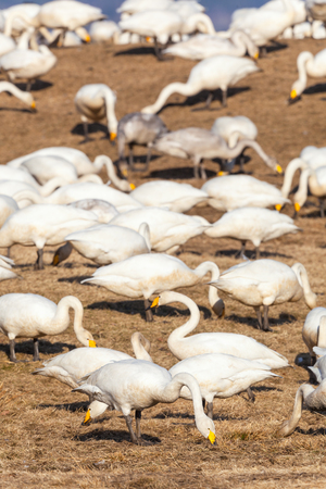 Whooper swans grazing on  a field photo