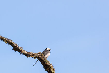wagtail: White Wagtail sitting on a branch