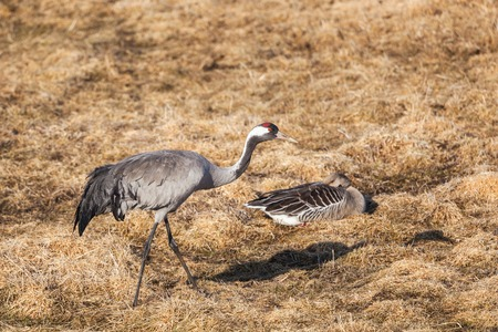 Common Crane and Greylag Goose on a field photo