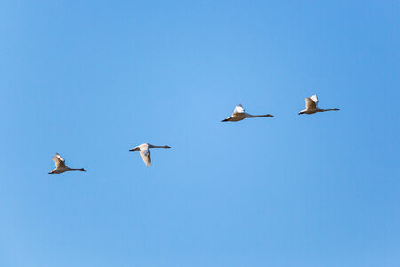 Whooper Swan Flying in formation photo