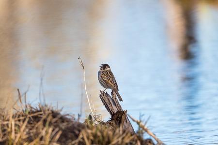 Common Reed Bunting sitting on a tree stump Reklamní fotografie
