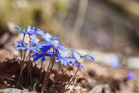Blossoming hepatica flower in early spring photo