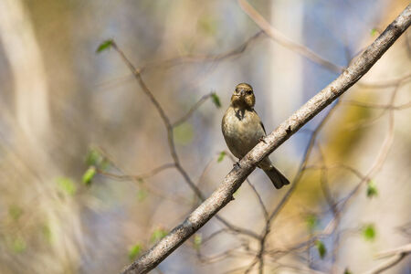 Chaffinch sitting on a branch in spring forest photo