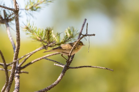 non urban 1: Willow Warbler on a tree barnch in spring