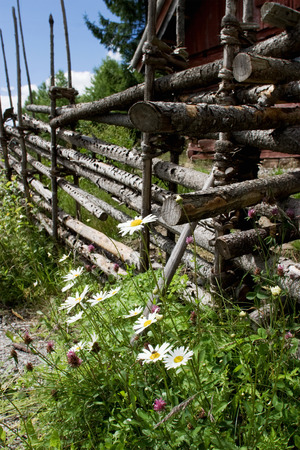 Oxeye daisy and wood fence photo