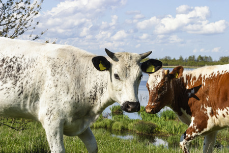 Cows in the meadow by the lake photo