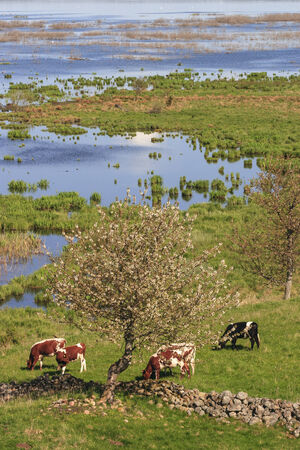 Cow grazing in the meadow by the lake photo