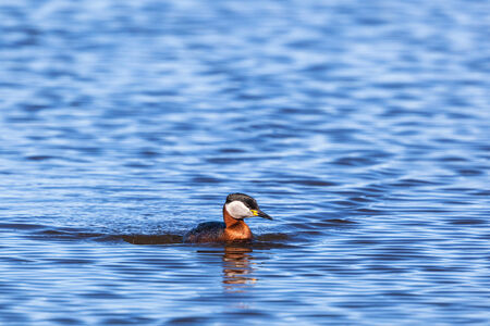 Red-necked Grebe swimming in lake