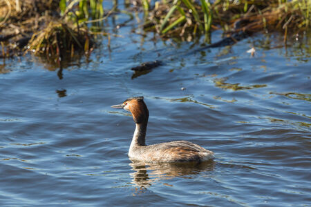 non urban 1: Great crested grebe  swimming in the lake