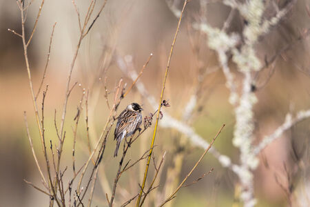 Reed Bunting sitting in the tree