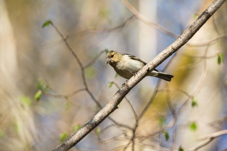 Chaffinch sitting on a branch in spring forest