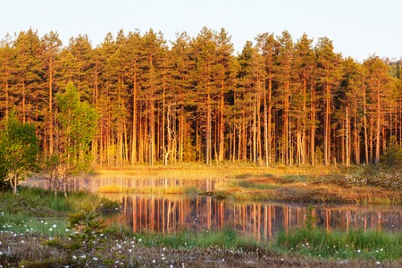 Old pine forest by the lake in sunset photo