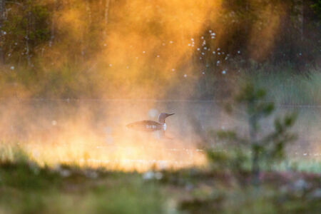 Red-throated Loon in foggy morning at the lake photo