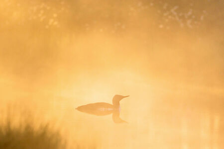 Red throated Loon in in morning fog photo