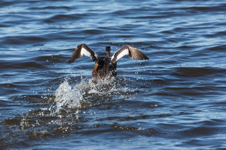 Great crested grebe take off from the lake photo