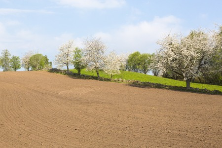 Flowering cherry trees at the stone wall and a harrowed field photo