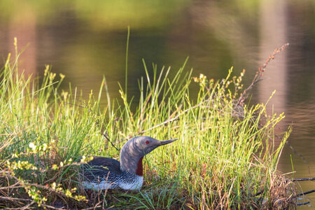Red throated Loon lying and brooding on the waters edge photo
