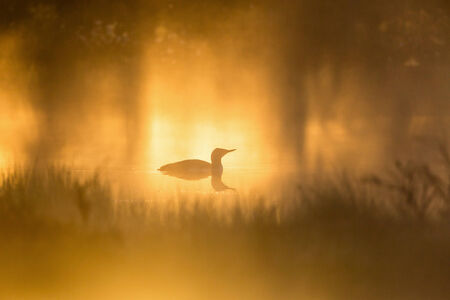 Red throated Loon siluette in morning mist photo