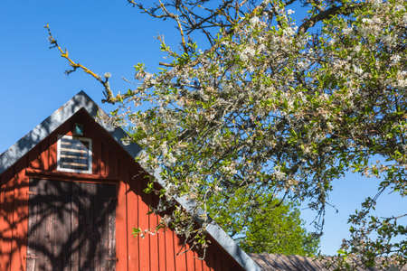 Flowering cherry tree with red gable in the background photo