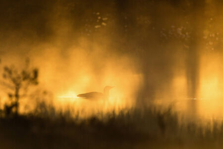 Red throated Loon in silhouette in dawn mist photo