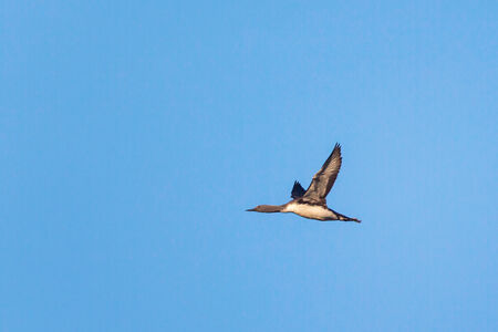 Red throated Loon flying in the sky photo