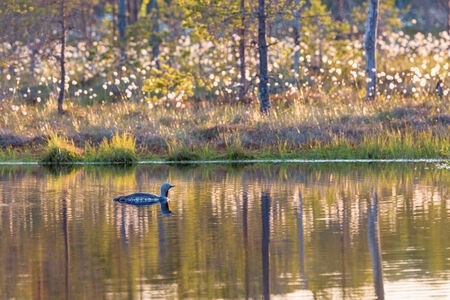 Red throated loon in a lake at dawn photo