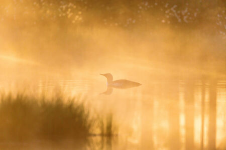 Red throated Loon in misty dawn and light photo