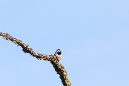 White Wagtail sitting on a branch photo