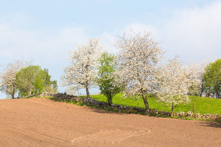 Harrowed field with blooming cherry trees on the stone wall photo