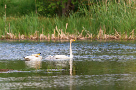 preens: Whooper Swans with young nestlings and preening