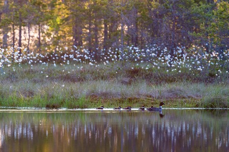 Goldeneye with ducklings in lake at sunrise on the bog photo