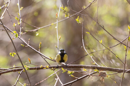 Great tit sitting on a branch in spring forest photo