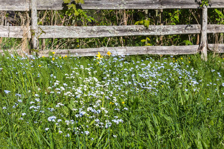 Forget-me in the meadow by a fenceForget-me in the meadow by a fenceForget me not in the meadow by a fence photo
