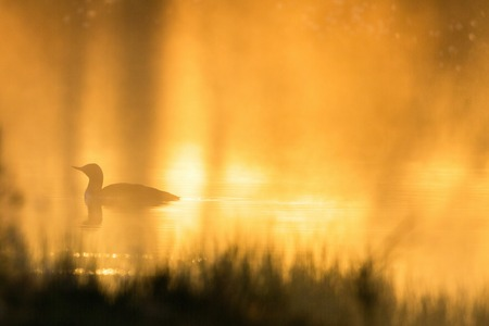 Red throated Loon in sunrise photo
