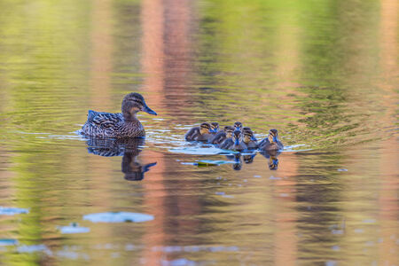 Mallard female with ducklings swimming in lake photo