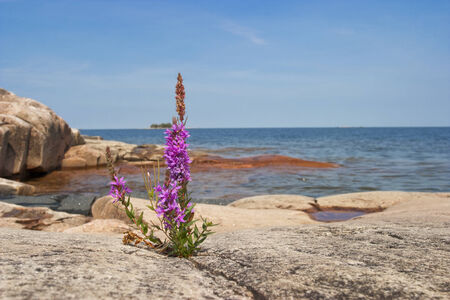 Purple loosestrife on the rock photo