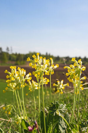 cowslip: Cowslips on a hill in at spring Stock Photo