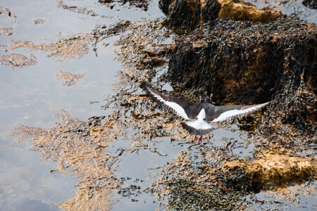wrack: Oystercatcher flying at  the beach