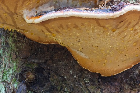 Red Banded Polypore with water drops on the underside photo