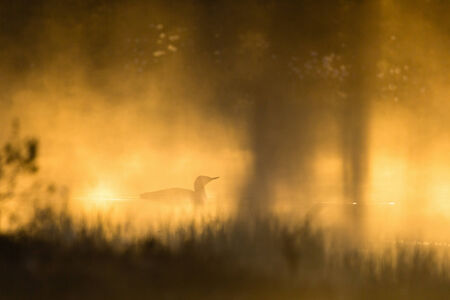 Red throated Loon in in dawn mist photo