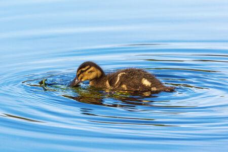 Newborn Mallard duckling swimming in the lake photo